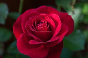 6_rosa