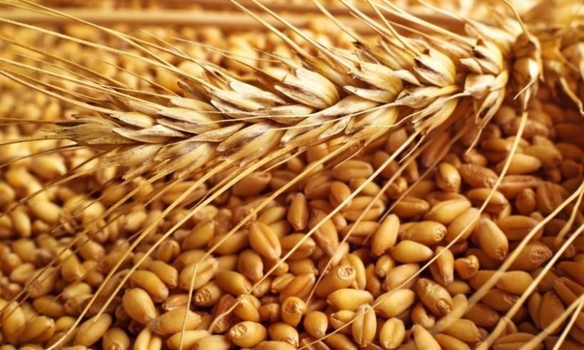 Kamut: un cereal más digestivo y nutritivo que el trigo común